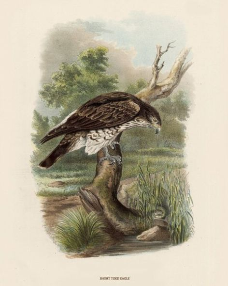 Fine Art Print of the Short Toed Eagle by O V Riesenthal (1876)